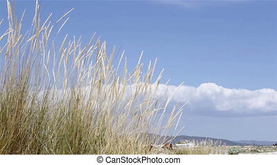 Ammophila arenaria grass in wind - Wind blowing Ammophila...