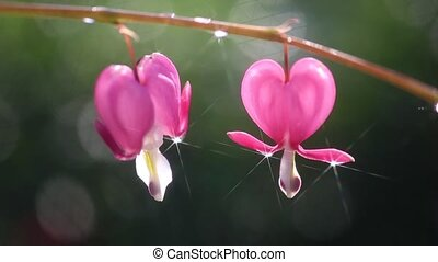 Dicentra, or - always attracts its - It is a decorative...