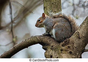Red squirrel (Sciurus vulgaris) in the tree