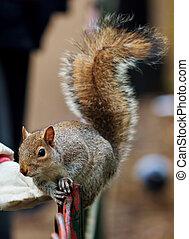 Red squirrel (Sciurus vulgaris) in the park
