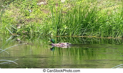 "duck swim stream - ""drake mallard duck swim through the..."