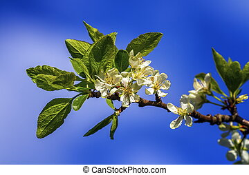 Prunus domestica Czar flowers by beautiful day