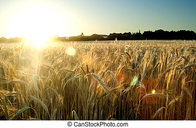 Wheat field on the sunrise of a sunny day - Wheat field at...