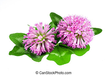 clover - Red clover flower and leaves isolated on white...