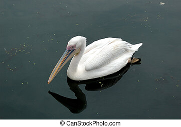 Bird the pelican floating on water in the Rostov zoo