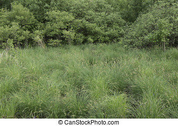 Sedge on Edge - Sedge meadow with Tussock Sedge at the edge...