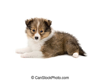 Beautiful happy sheltie puppy dog i