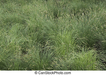 Tussock Sedge - Turf of Tussock Sedge Carex stricta in a...