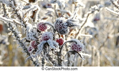Briar Berries With Hoarfrost in Frosty Day - 4K Ultra HD...