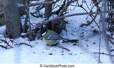 Great Tit Bird (Parus major) Eating in Winter Forest, Shot...
