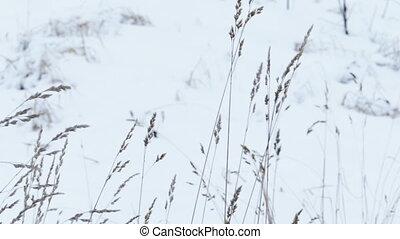 Dry Grass Under Snow, Slider Shot - Dry Grass Under Snow in...