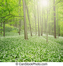 Deep forest - White flowers of the ramsons or wild garlic in...