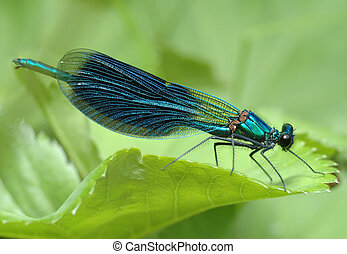 Dragonfly Calopteryx splendens - Close-up of a dragonfly...