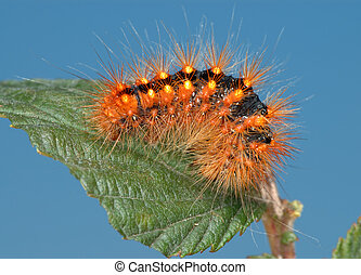 Fiery-red caterpillar. - Black caterpillar with bright hairs...