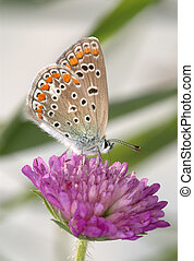 Copper-butterfly on a clover - Small spotted...