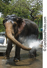Elephants bathing - A domesticated Indian elephant bathes...