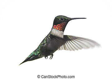 Isolated Male Ruby-throated Hummingbird (archilochus...