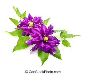 Clematis isolated