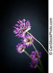 Allium beautiful flower on a black background