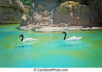 Two black-necked swans - Amazing black-necked swans swiming...