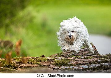 Tree trunks - Small white dog jumping with joy over tree...