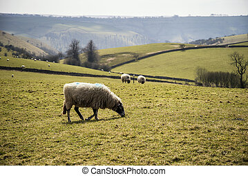 Sheep animals in farm landscape on sunny day in Peak...