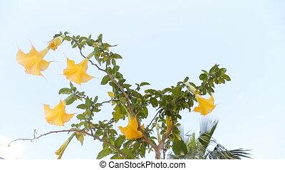 Beautiful yellow angels trumpet flower also known as...