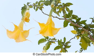 Beautiful yellow angel's trumpet flower also known as Brugmansia.