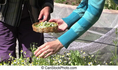 women gather herbs - Zoom out senior and young woman pick...