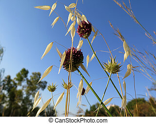 Wild Onion and oats - wild onion flower oatsl in countryside...