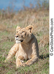 Lioness resting on hill inside Ngorongoro Crater - A female...