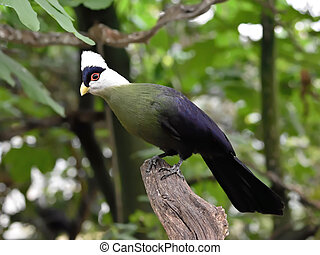 White-crested turaco (Tauraco leucolophus) - White crested...