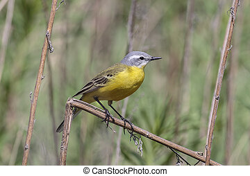 Yellow wagtail - male Yellow wagtail (Wagtail Motacilla...