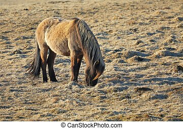 Horse grazing on a field - Icelandic horse grazing on a...