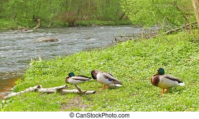Three drake resting on the river bank