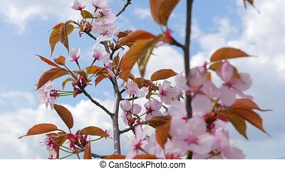 flowers of Japanese sakura