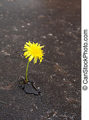 Growing yellow dandelion in asphalt - Young dandelion makes...
