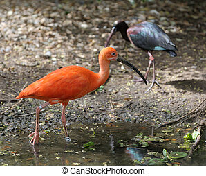 The Scarlet Ibis (Eudocimus ruber) on the pond