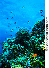 Group of coral fish water - Group of coral fish blue water...