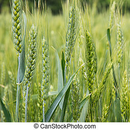 ear of wheat agriculture green background