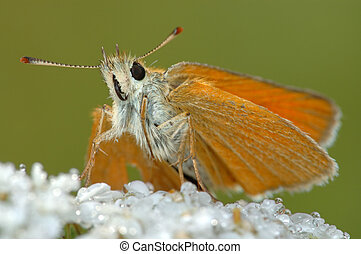 Butterfly Large Skipper (Ochlodes sylvanus). - Small bright...