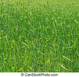 green wheat - Wheat growth field nature background