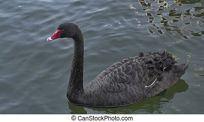 Black swan swims on the Yarra river in the shadow of the...
