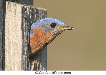 Male Eastern Bluebird (Sialia sialis) in a birdhouse