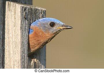 Male Eastern Bluebird (Sialia sialis) in a birdhouse