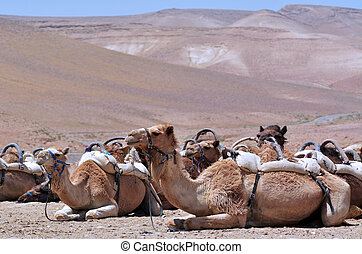 Convoy of Camels rest during a desert voyage in the Judaean...