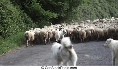 Shepherd Dogs Following Sheep Herd - Video clip of shepherd...