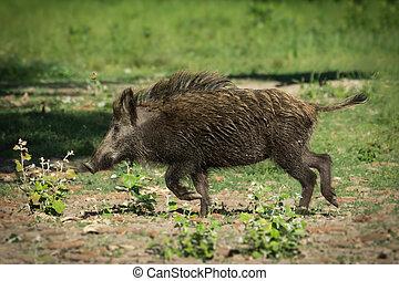 European wild boar