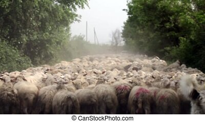 Sheep Crowd