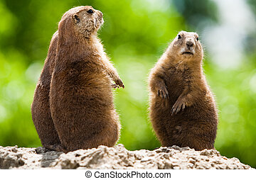 Ground of prairie dogs - Group of prairie dogs looking...